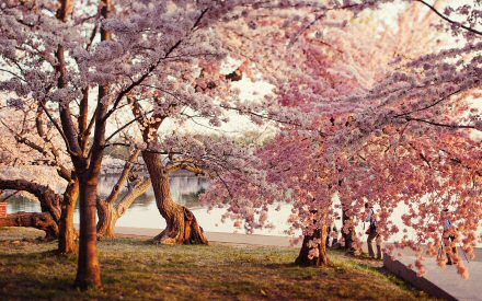 park-cherry-blossoms.jpg