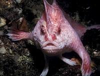 pinkhandfish.jpg
