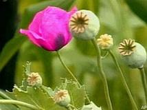 poppy_plant.jpg