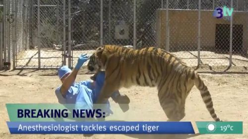 reporter tackles tiger.jpg