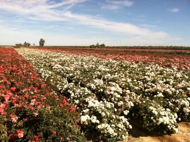 rose-fields-2.jpeg