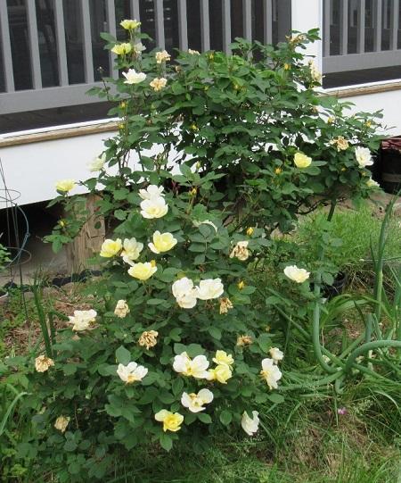 roses2.2019badgerwx.jpg