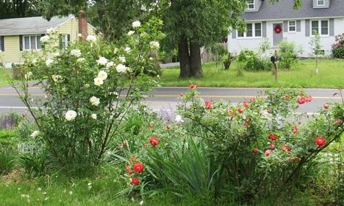roses2019badgerwx.jpg