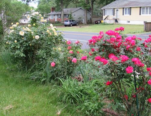 roses3.2019badgerwx.jpg