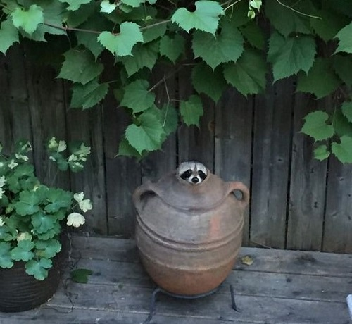 rraccoon.jpg