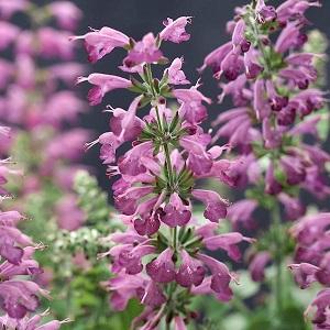 salvia-summer-jewel-lavender.jpeg