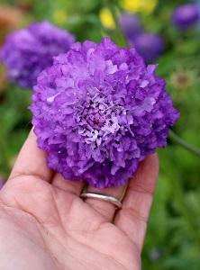 scabiosa_florist_blue_01.jpg