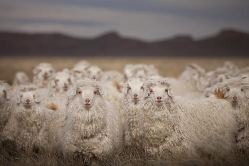 sheep66.jpg