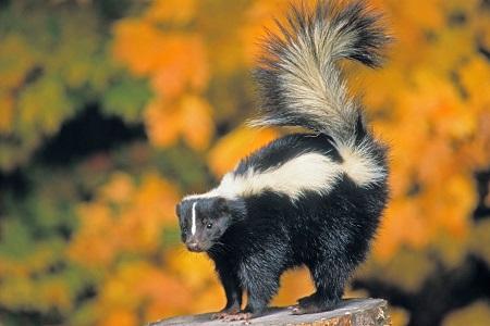 skunk4.jpg