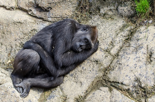 sleeping gorilla.jpg