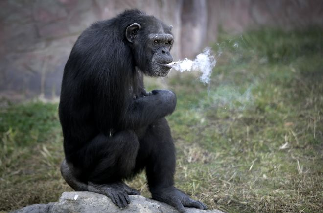 smoking Chimp.jpg