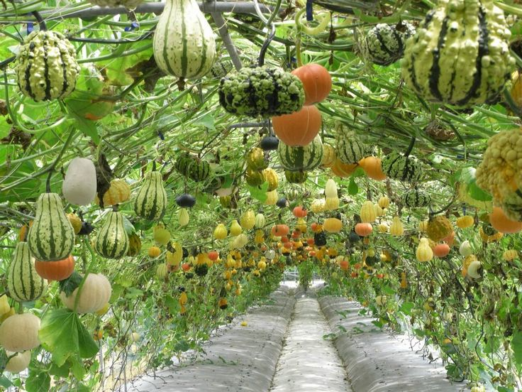 squash-and-gourd-tunnel.jpg