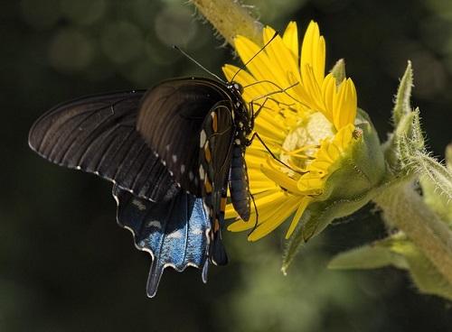 swallowtailsil.jpg