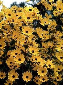swampsunflowerclose.jpg