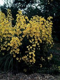 swampsunflowerwide.jpg