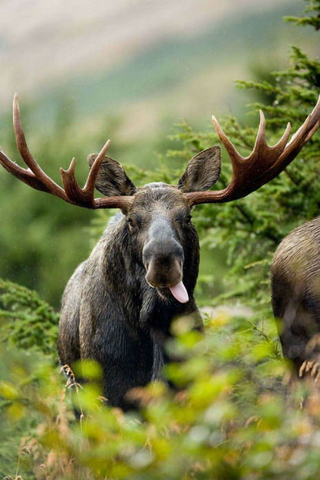 the best moose out front should have told you .jpg