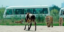 tiger-china2.jpg