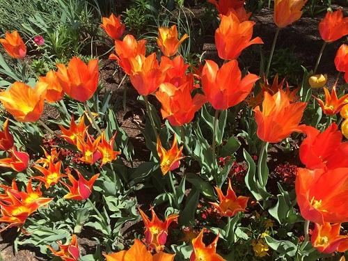 tulip23.jpg