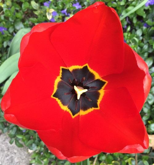 tulipand.jpg