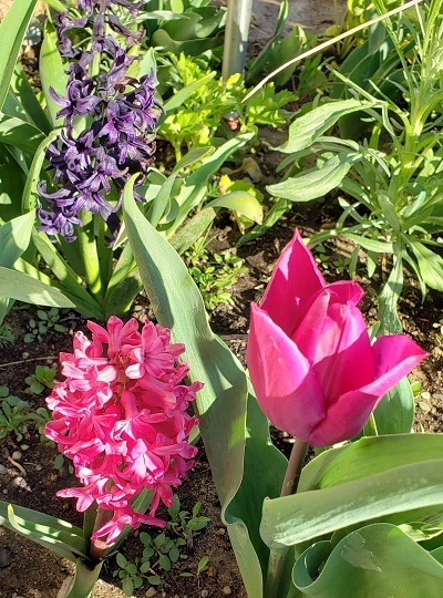 tulipida.jpg