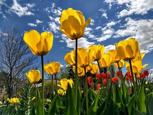 tulipthanks.jpg