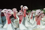 turkeys400px.jpg