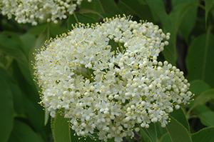 v-lentago-flower-cluster.jpg