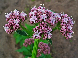 valerian-officinalis.jpg