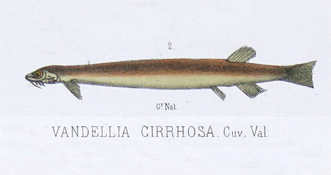 vandella-cirrhosa-candiru.jpg