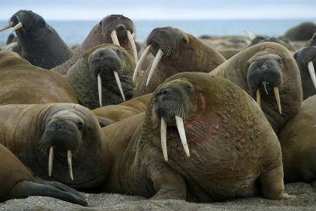 walruses.jpg