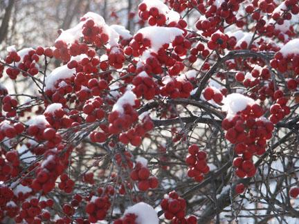 winterberry1.jpg