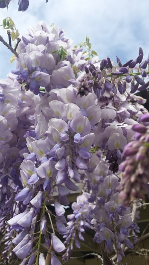 wisteria bunch.jpg