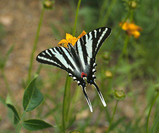 zebra-swallowtail-2.jpg